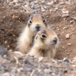 Utah Prairie Dog (Cynomys parvidens) / Photo by Elaine Miller Bond, prairiedogcoalition.org