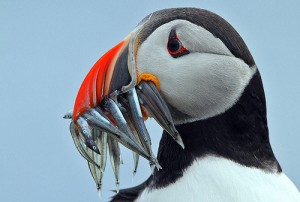 puffin with silver fish in its mouth