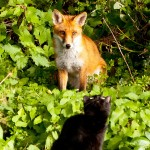 Dublin fox plays with cat / Stephen Heron