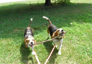 Two adorable beagles carry a stick together