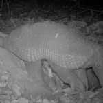 Giant Armadillo caught in camera trap