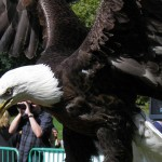 Bald eagle looking pissed