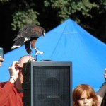 Harris Hawk delights crowd by landing on speaker