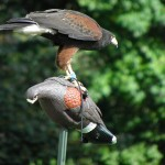 Harris Hawk lands on fake one