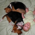 Baby ginger and her beagles