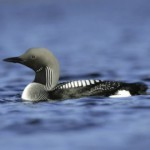 Black-throated diver (loon), courtesy of Welcome to Scotland