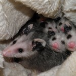 Possums raised in a pouch at a Poughkeepsie wildlife rehabilitator