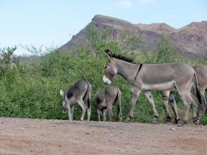 burros on the roadside