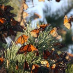 Monarchs on Long Island, Oct. 5, 2011