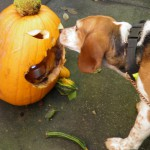 Huckleberry the beagle carves a pumpkin