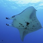 manta ray off hawaii by steved