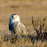 Snowy owl stands on Wisconsin brush,