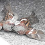 battle between male house sparrows