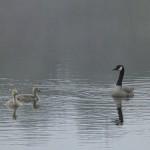 run, geese, run