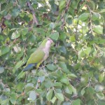 Monk parrot hanging out in Park Slope. This picture would have been better if he was at PS321 or a stoop sale.