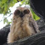 Wet great horned owl chick braves an assault from a robin in Prospect Park