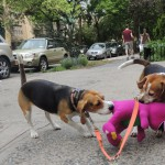 Gratuitous adorable picture of my beagles, Moxie and Huck, killing Barney