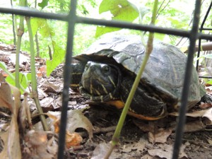 turtle by fence
