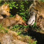 The USDA is going to shoot a Mexican wolf, even though she is one of only six successful wild mothers.