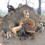 Milligan is a beagle triathelete: he jumped right on this stump to get peanut butter, he sings and he charms his way into many treats.