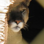 Mountain lion peers out from lair.