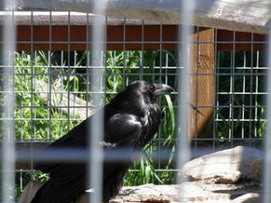 Wild ravens often steel from this captive raven.