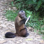 This capuchin monkey pees on himself to show how sexually mature he is.