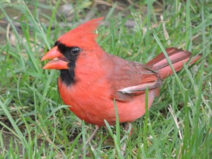 cardinal friend eating