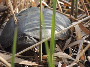 Snapping turtle in the Phragmites of Prospect Park Lake.