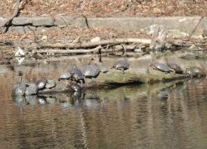 turtle hunt 2013-04-08 030