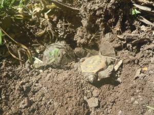 underground turtle nest