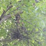 An adult green heron feeds two chicks in  Prospect Park