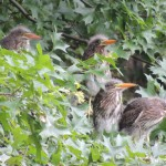 Four green heron chicks in Prospect Park, Brooklyn