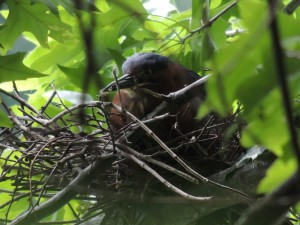Green Heron on nest over Lullwater