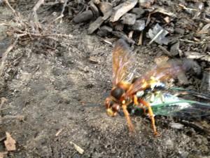 wasp on top of cicada