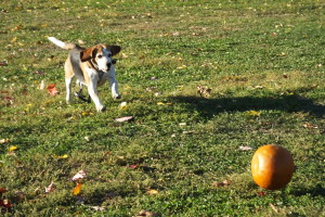 Huckleberry hound chases a pumpkin down a hill