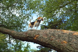 beagle climbs tree to amazing height