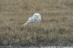 Snowy owl at Floyd Bennettt