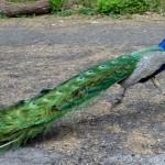 peacock on the run
