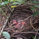 DAY ONE The first day I saw the cardinal nests. It took me 10 minutes to find the nest in a bush about the size of a small car.