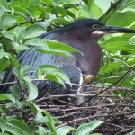 Green heron on nest by the boathouse. Babies are tucked under her wing.