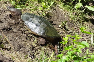 Snapping Turtle digs nest