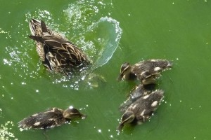 Mommy mallard teaches babies to dive