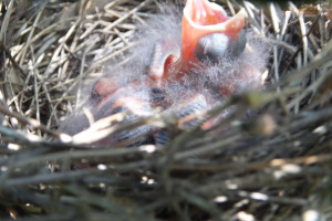 cardinal baby in nest asking for food
