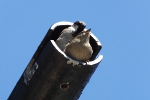 Sparrows mating in the traffic nest pole.