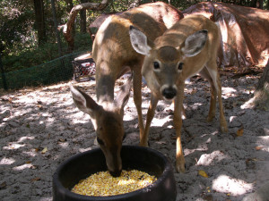 deer eating corn