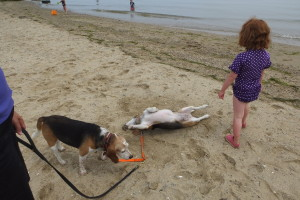Beagle down! Moxie loves the beach so much she runs in big circles, rolls in sand and tries to eat shells.