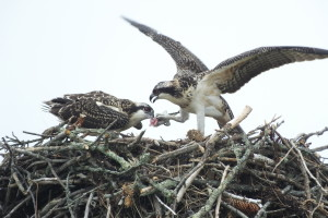 Osprey chicks play tug-of-war with fish