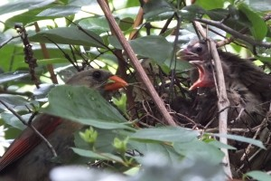 A mother cardinal feeds her babies a juicy green bug.
