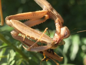 Praying mantis pulls apart a bee.
